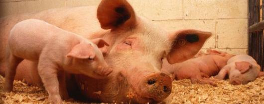 swinie-pixabay.com